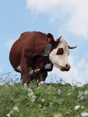 Vache Abondance - Haute-Savoie