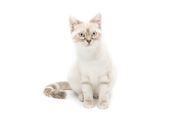 Gattino bianco isolato su sfondo bianco