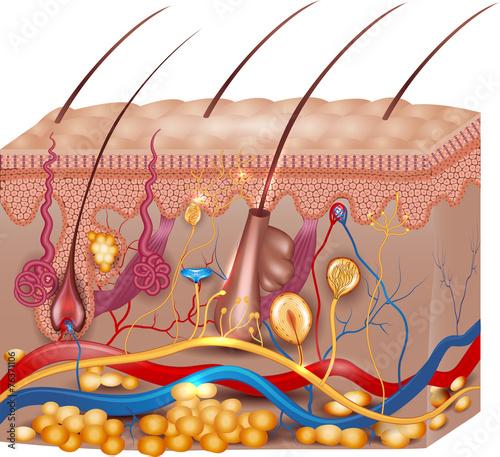 Skin anatomy. Detailed medical illustration, beautiful bright co - 76371106