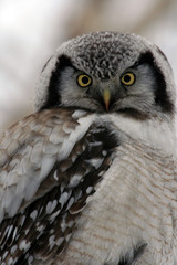 Northern Hawk Owl  (Surnia ulula), Kamchatka