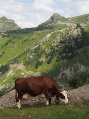Vache - Haute-Savoie
