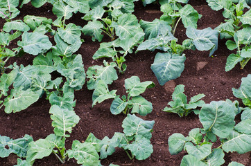 Collard greens field