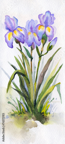 Foto op Canvas Iris Watercolor landscape. Lush purple irises in the park