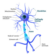 Structure of a motor neuron