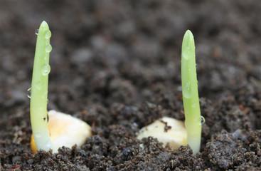 Corn germination on fertile soil