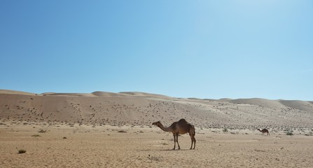 Camel in the desert, Wahiba Sands, Oman