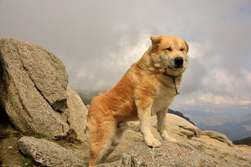 Sheepdog facing the mountain with strong wind