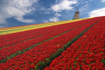 Coltivazioni del tulipano