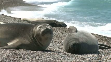 Argentinean fur seals lying on the coastline of Atlantic Ocean