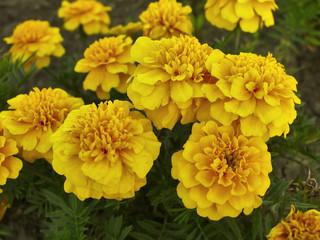 Yellow marigolds in garden