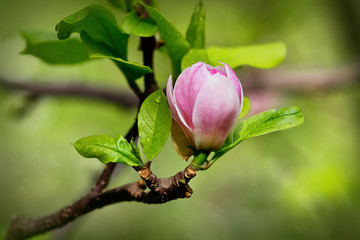 A burgeon of magnolia in springtime