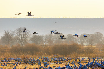 Cranes flying in countryside landscape