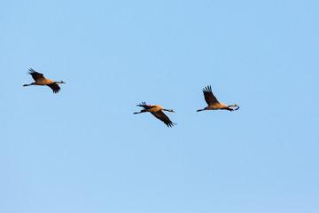 Three cranes flying