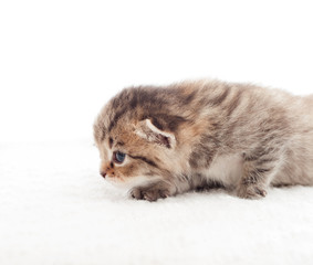 creeping tabby kitten on a white background