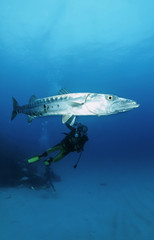 Caribbean Sea, diver taking pictures of a great Barracuda