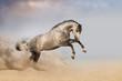 Beautifyl grey horse galloping in desert sand at sunset