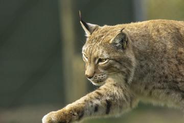 Lynx sluipt.