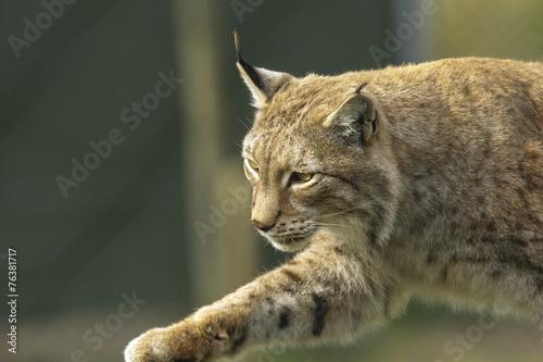 Staande foto Lynx Lynx sluipt.