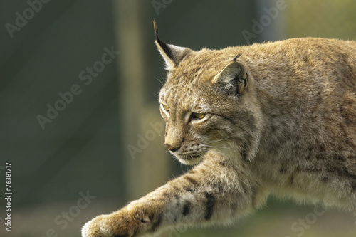 Deurstickers Lynx Lynx sluipt.