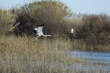 Flying Grey Heron 2