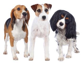 Drei Hunde Beagle,Terrier,Spaniel isoliert