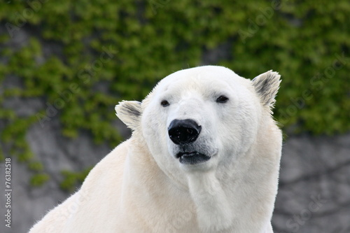 Tuinposter Ijsbeer Detail view of a large polar bear, (ursus maritimus)