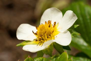 Strawberry white flower