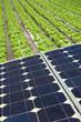 placas solares en el invernadero lechugas 3523-f15 - 76386302