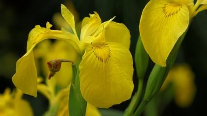 Yellow Iris ( Iris pseudacorus ) and a bee collecting nectar
