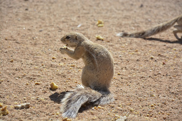 Squirrel, Namibia, Africa