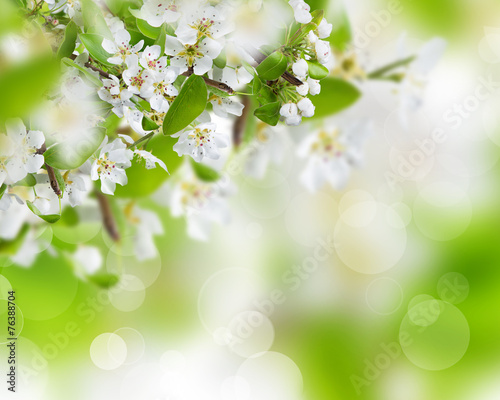 Spring blossoms background - 76388704