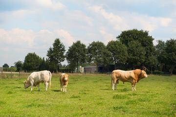Bulls in pastures