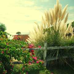 Bougainvillaea and reed on sky background, Portugal
