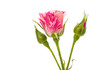 Obrazy na płótnie, fototapety, zdjęcia, fotoobrazy drukowane : little pink rose