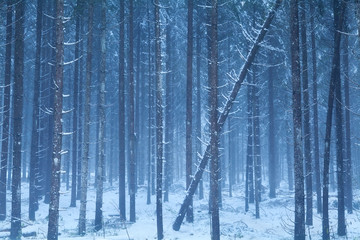 misty snowy coniferous forest