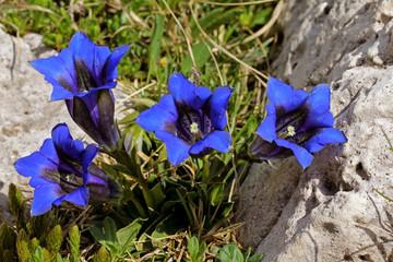 genziana delle Dolomiti (gentiana clusii)