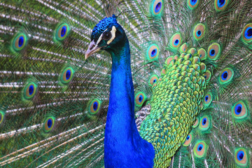close-up peacock