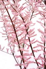 Tamarix parviflora