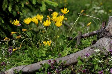 capolini gialli (aposeris foetida)