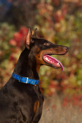 Beautiful brown young doberman male portrait