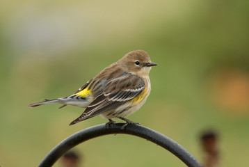 Fall Yellow-rumped Warbler