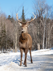 Male red deer standing in the winter