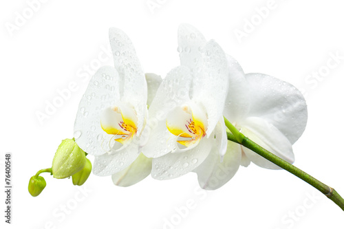 Fotobehang Lilac Five day old orchid with water droplets isolated on white.