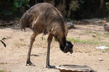 Close up of an emu bird eating food