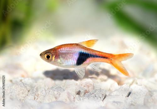 Rasbora Het Harlequin rasbora heteromorpha aquarium fish - 76402521