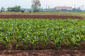 Maize known as corn is a large grain plant .The leafy stalk prod