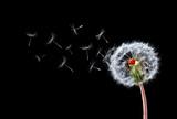 Fototapeta Dandelion Flying Ladybugs