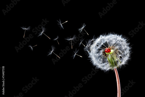 Dandelion Flying Ladybugs © bessi7