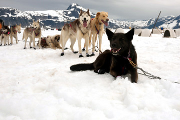 Sled dogs take a rest break during a dog sled run