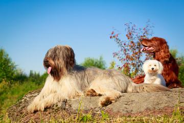 setter, maltese and briard dogs